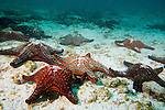 Pinzon Island, Galapagos, Ecuador; a large group of Panamic Cushion Star (Pentaceraster cumingi) sea stars or star fish cover the rocky, sandy bottom , Copyright © Matthew Meier, matthewmeierphoto.com All Rights Reserved