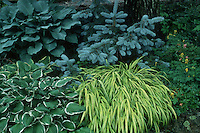 Hosta Francee, blue hostas, Hakonechloa grass, blue spruce, trees, grasses, Corydalis, perennials in garden use plantings