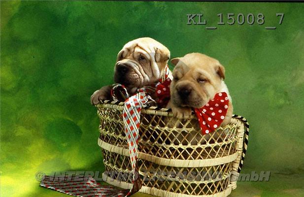 Interlitho, Alberto, ANIMALS, dogs, photos, 2 shar peis, basket(KL15008/7,#A#) Hunde, perros