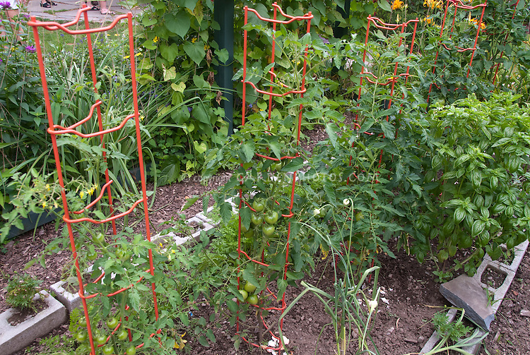 Caged tomatoes in vegetable garden with basil, beans