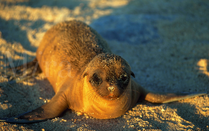 Sea lion, Espanola or Hood Island, Galapagos Islands, Ecuador