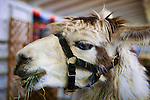 Livestock exhibits, crafts, fair food and midway rides bring thrills to fairgoers at The Puyalup Fair.  Western Washington State Fair.