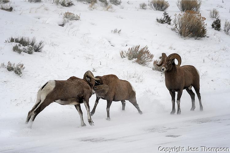 Bighorn Sheep, Cody, Wyoming