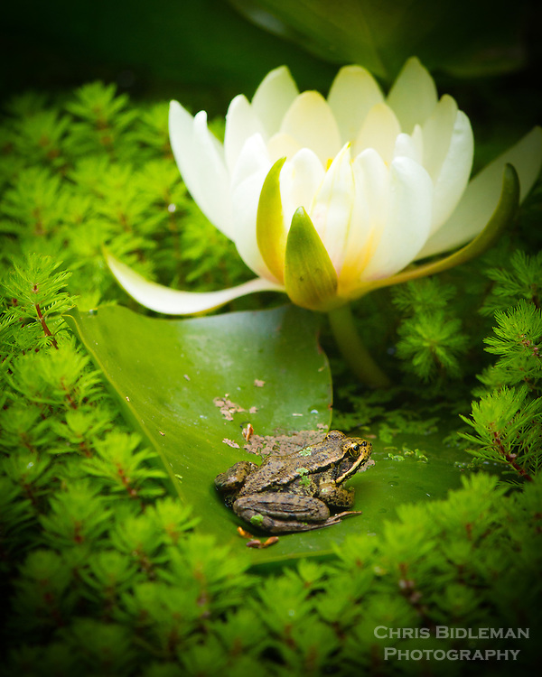 A frog is sitting on a lily pad in a pond beneath a water lily flower in full bloom with red stemmed Parrot's Feather (Myriophyllum aquatica) all around in a Holga like focus and vignette.