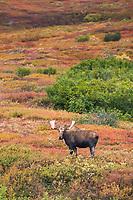 Bull moose in colorful autumn tundra, Denali National Park, Interior, Alaska.