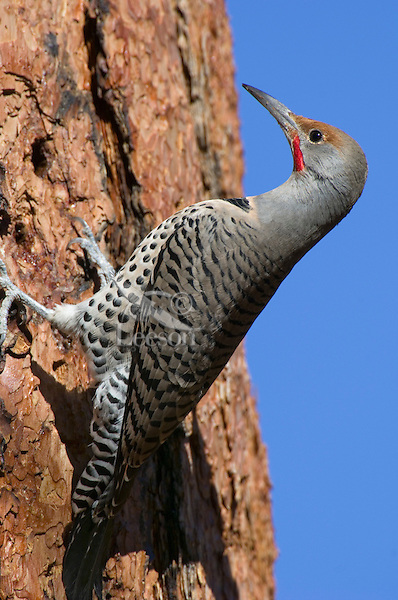 Northern Flicker or Red-shafted Flicker (Colaptes auratus) looking for insects on side of ponderosa pine.  Western U.S., fall.