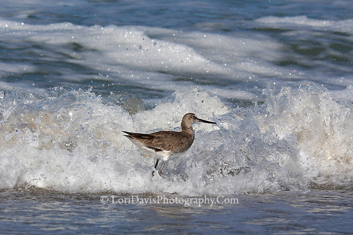 #Q50 Willet Surrounded By Crashing Wave