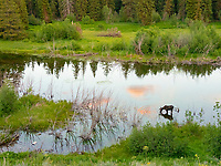 moose or elk, Alces alces, bull foraging near Fish Creek at sunset, Grand Teton National Park, Wyoming, USA