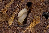 Buchdrucker, Großer Borkenkäfer, Larven fressen im Holz, Fichtenborkenkäfer, Fichten-Borkenkäfer, Achtzähniger Borkenkäfer, Ips typographus, European spruce bark beetle, engraver beetle, common European engraver, spruce bark beetle, le bostryche typographe