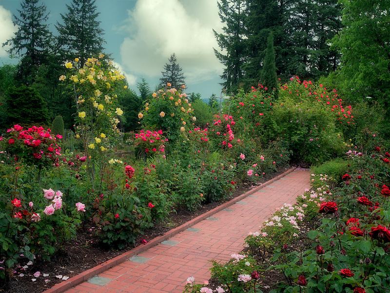 Path through roses. Portland Rose Test Gardens. Portland, OR