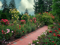 Path through roses. Portland Rose Test Gardens. Portland, OR