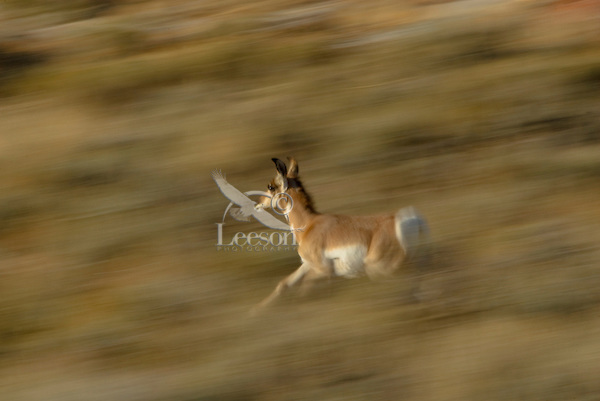 Young Pronghorn (Antilocapra americana) antelope running thru sagebrush.  Western U.S., Fall.  This is about a four to five month old fawn.