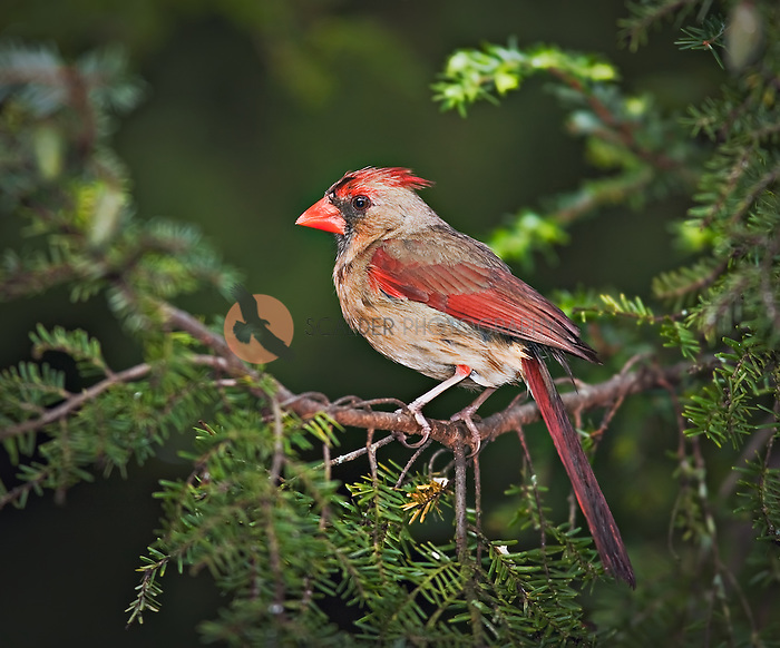 Female Northern Cardinal perched in hemlock tree in Asheville, NC