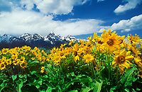 749451034 arrowleaf balsamroot wildflowers balsamorhiza sagittata bloom below the stormy teton range in grand tetons national park wyoming