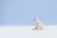 Polar bear cub of the year sits in the snow watching snowflakes fall, Arctic, Alaska