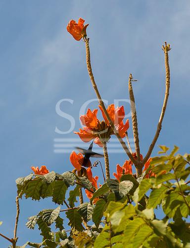 Mato Grosso State, Brazil. Colider; hummingbird.