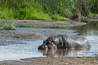 A Hippopotamus, Hippopotamus amphibius, stands in a shallow pond in Ngorongoro Crater, Ngorongoro Conservation Area, Tanzania