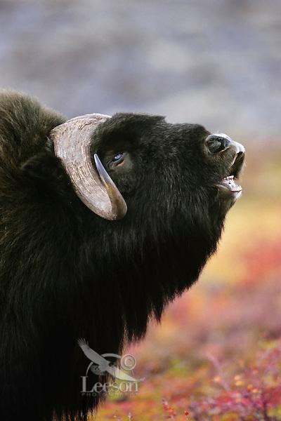 Muskox (Ovibos moschatus) bull smelling (flehmen behavior).  Canadian tundra.  Fall.