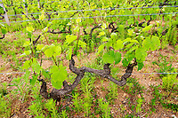 gamay cordon simple training vineyard domaine du vissoux beaujolais burgundy france
