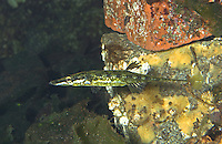 Seestichling, See-Stichling, Meerstichling, Meer-Stichling, Spinachia spinachia, fifteen-spined stickleback