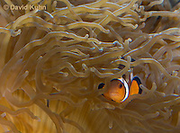 0321-1109  False Percula Clownfish (Ocellaris Clownfish), Amphiprion ocellaris, with Bulb-tipped Anemone, Entacmaea quadricolor  © David Kuhn/Dwight Kuhn Photography