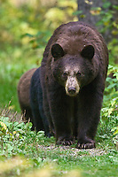 Female Black Bear walking down a trail with her cubs following her