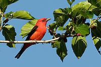 Scarlet Tanager, Rockport, Texas