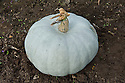 """'Crown Prince' squashes drying or """"curing"""" outdoors before being brought under cover for winter storage."""