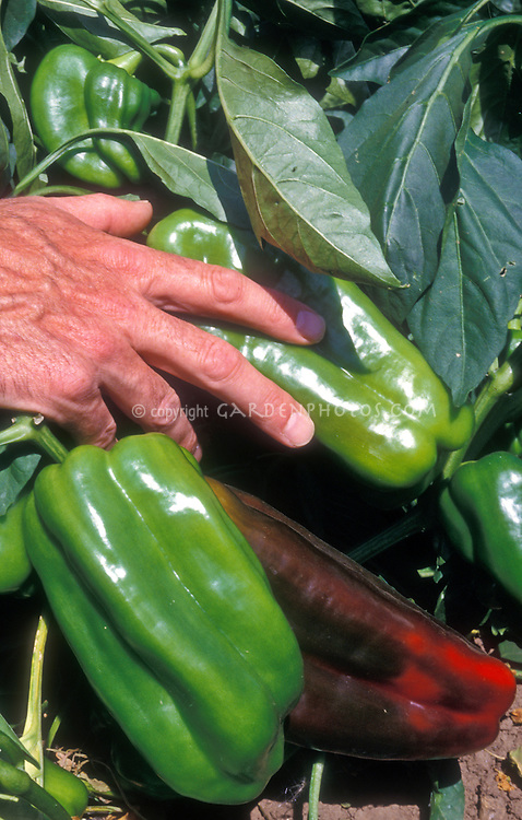 """Pepper Peto Wonder with man's hand for scale - very large vegetables can grow to 8"""" long. Sweet Peppers, bell pepper"""
