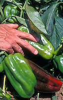 "Pepper Peto Wonder with man's hand for scale - very large vegetables can grow to 8"" long. Sweet Peppers, bell pepper"