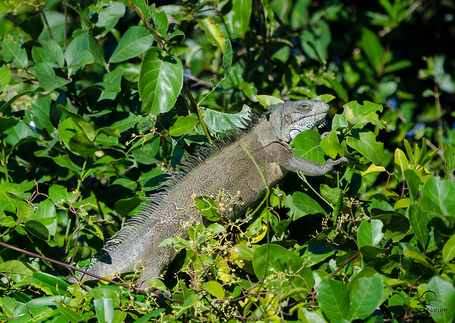 Basking in the ample sun, this Green Iguana (also known as a Common Iguana) (Iguana iguana) pays little heed to the people taking its picture.  The Pantanal, Brazil.
