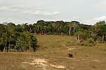 African Forest Elephant (Loxodonta africana cyclotis) bull in savanna, Lope National Park, Gabon