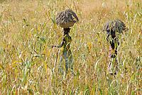 Burkina Faso , Landwirtschaft Frauen bringen die Sorghumernte ein / BURKINA FASO women walking through Sorghum field carrying Sorghum on their head