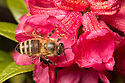 Honey Bee {Apis mellifera} worker feeding on Alpenrose {Rhododendron ferrugineum}. Nordtirol, Austrian Alps. July.