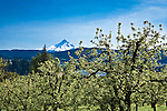 Majestic Mount Hood rises over the Hood River Valley east of the town of Hood River in the Columbia River Gorge, Oregon.  Hood River, east of Portland, is a favorite of wind surfers and skiers alike and is known as orchard and wine country.