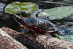 Painted turtle resting on partially submerged tree trunk facing left in pond, medium shot.  Side view, second angle.