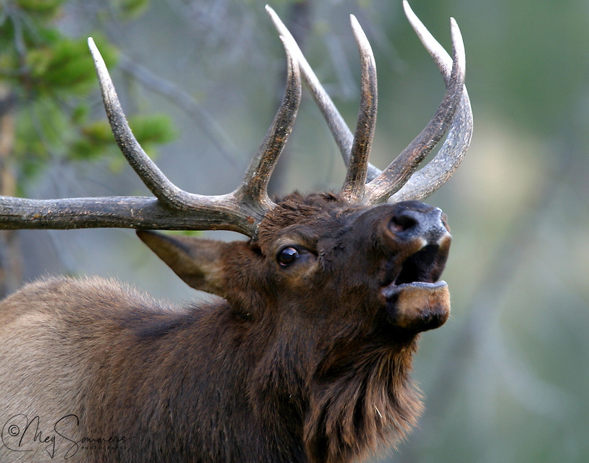 Bull elk (Cervus canadensis) usually stay in single-sex groups for most of the year. During the mating period known as the rut, mature bulls compete for the attentions of the cows and will try to defend females in their harem. Rival bulls challenge opponents by bellowing and by paralleling each other, walking back and forth. This allows potential combatants to assess the other's antlers, body size and fighting prowess. If neither bull backs down, they engage in antler wrestling, and bulls sometimes sustain serious, sometimes fatal, injuries.