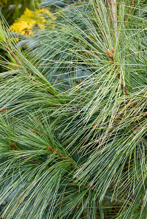 Pinus wallichiana Densa Hill pine tree