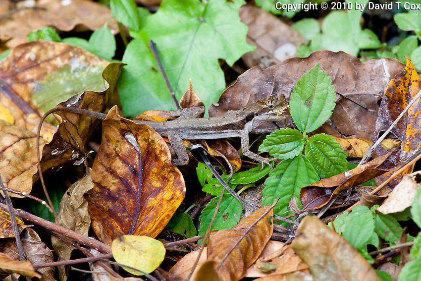lizard with grasshopper, El Ceibal jungle, Guatemala