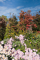 Chrysanthemum aka Dendranthema Single Apricot (Korean) with Cornus, Helianthus, Hydrangea foliage in fall autumn color with blue sky and clouds at the New York Botanical Garden, Bronx, NY
