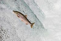 Sockeye Salmon jumping up waterfall to spawn Oncorhynchus nerka Katmai National Park Alaska, USA