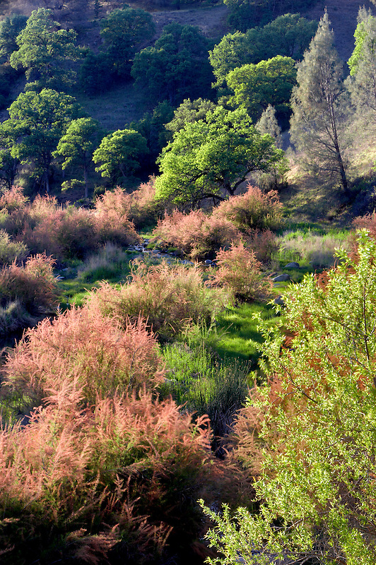 Saltcedar or Five-Stamen Tamarisk (Tamarix chinensis {ramosissima} along banks of Bear Creek with fog. Bear Valley. California