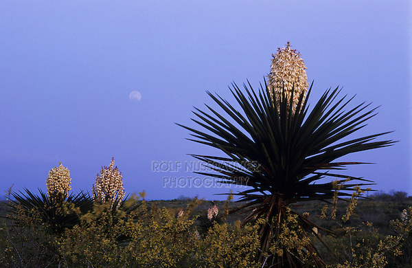 Trecul Yucca, Spanish Dagger, Yucca treculeana, blooming and moon, Starr County, Rio Grande Valley, Texas, USA, February 2002