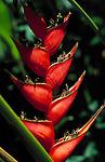 Trinidad & Tobago, Commonwealth, Trinidad, Balisier plant (Heliconia Caribea)