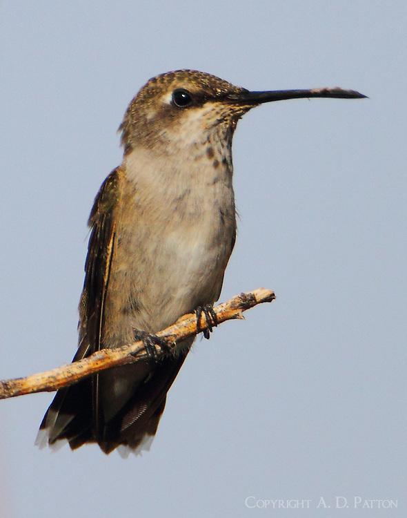 Juvenile male black-chinned hummingbird