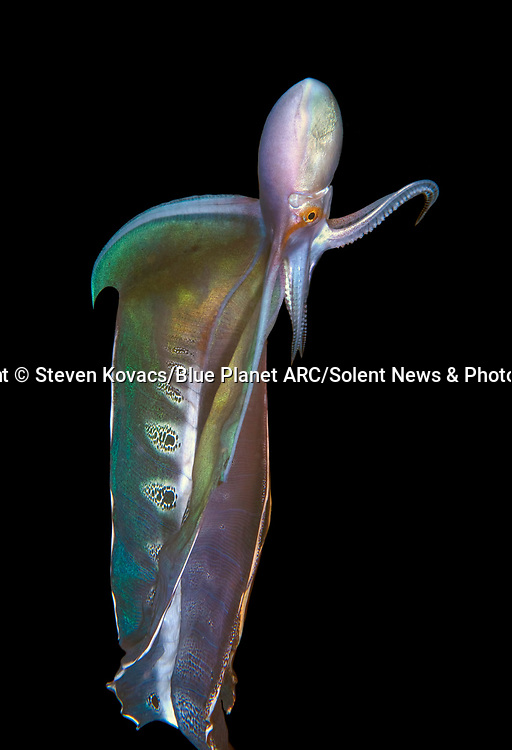 """Pictured:  A Blanket Octopus.<br /> <br /> IS IT A BIRD? A PLANE? NO, IT'S DEEP SEA CREATURES - FLYING THROUGH THE SEA.  Unusual species from the darkest corners of the ocean look like they can fly as they glow in the dark.  These spectacular creatures - including squid, octopus and flying fish - light up the blackness of the sea around them off the coast of Palm Beach in Florida, USA.<br /> <br /> Photographer Steven Kovacs said: """"Blackwater photography is difficult and takes some getting used to. Basically we go out at night into deep water and jump in. We then drift along and see what shows up out of the darkness.   SEE OUR COPY FOR DETAILS.<br /> <br /> Please byline: Steven Kovacs/Blue Planet ARC/Solent News<br /> <br /> © Steven Kovacs/Blue Planet ARC/Solent News & Photo Agency<br /> UK +44 (0) 2380 458800"""