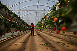 A Palestinian man from Gaza picking strawberries on april 10,2017. Photo by Osama Baba