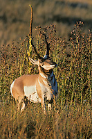 Pronghorn antelope buck rubbing scent gland during fall rut