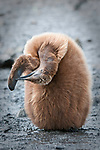 King Penguin chick (Aptenodytes patagonicus) preening new wing feathers, Salisbury Plain, South Georgia, South Atlantic. January.