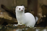 stoat - sitting lateral, Mustela erminea